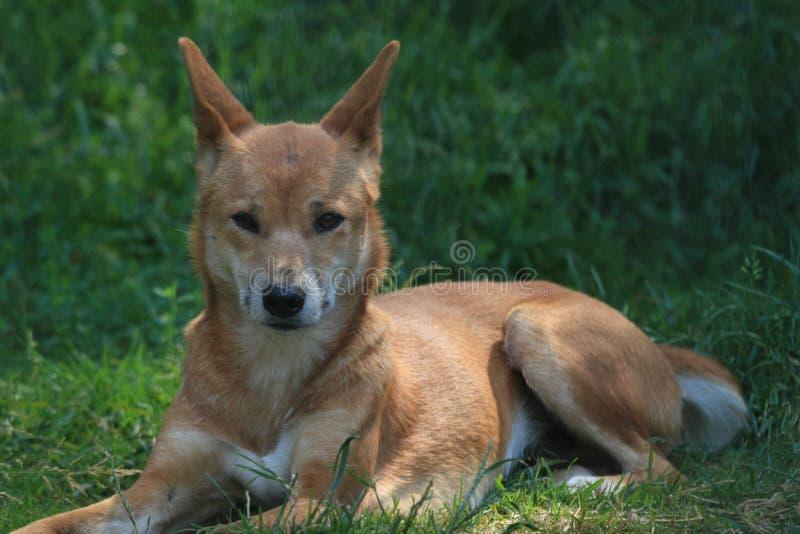 dingo australijski zdjęcie stock