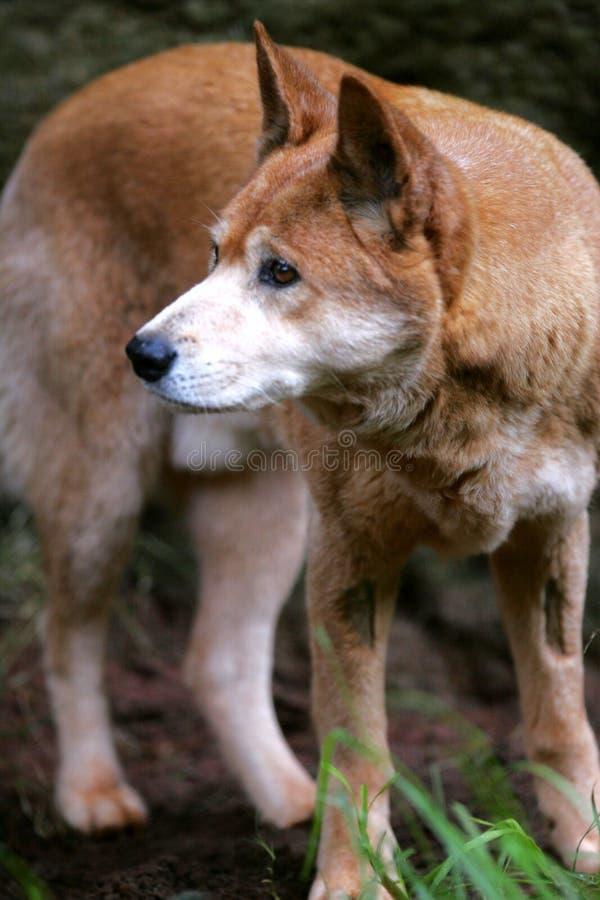 dingo australijski zdjęcie royalty free