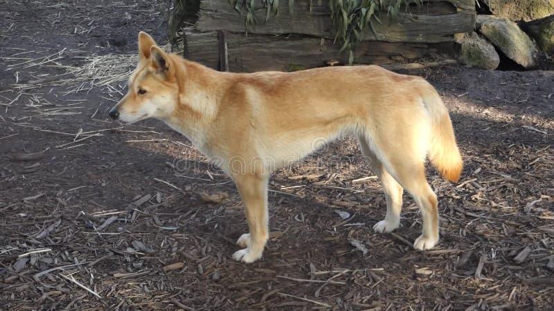 dingo australijski zbiory wideo