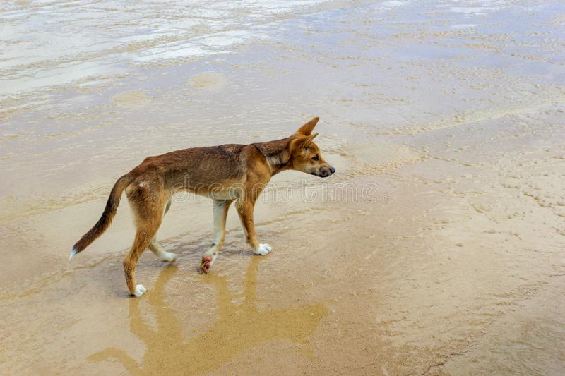 Dingo on the beach in Great Sandy National Park, Fraser Island Waddy Point, QLD, Australia. Animal juvenile nature ocean outdoor young brown dog sea summer wild royalty free stock image