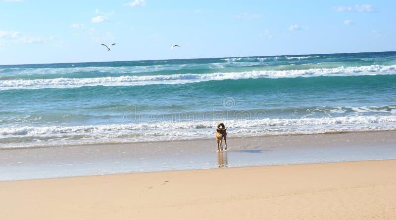 Dingo bij 75 Mijlstrand in Fraser Island stock foto's