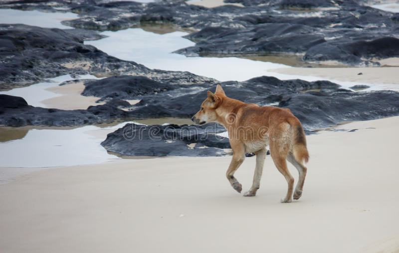 Dingo d'île de Fraser sur la plage photos stock