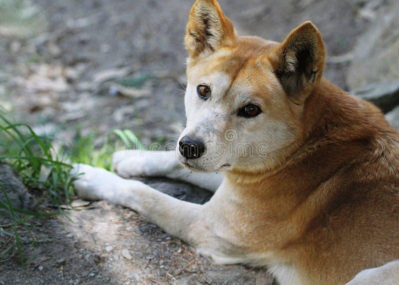 Dingo (dingo do lúpus de Canis) imagens de stock royalty free