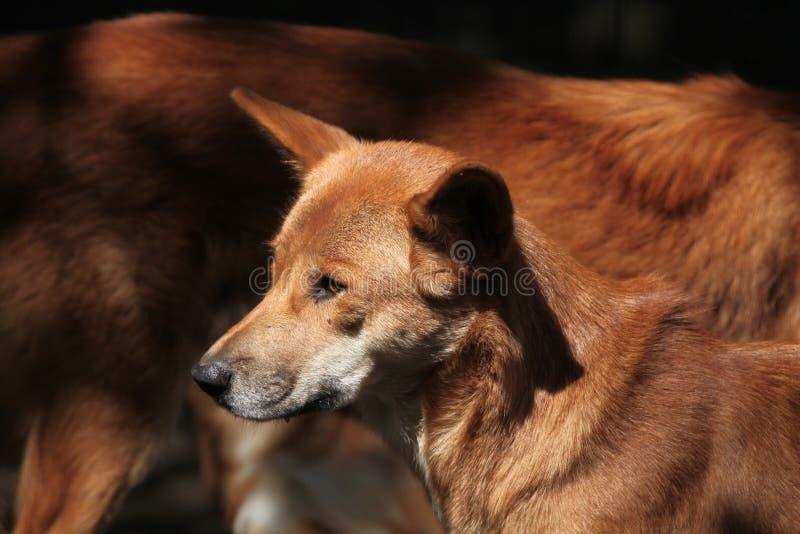 Dingo (dingo för Canislupus) royaltyfri bild