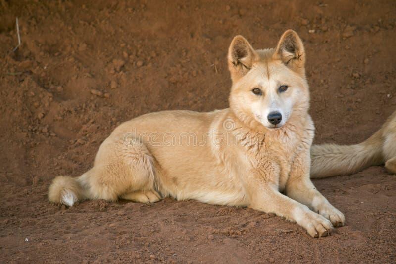 Dingo dorato fotografia stock libera da diritti