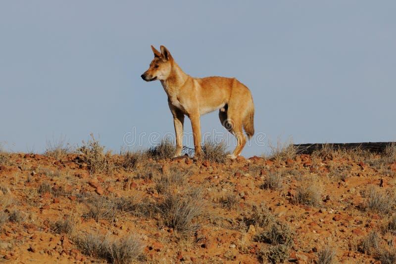 Dingo en australiano interior fotografía de archivo