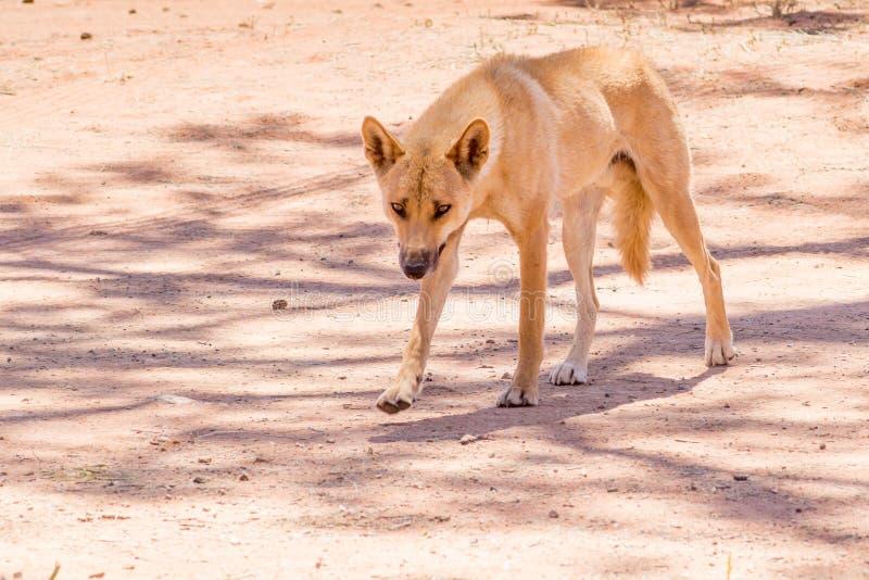 Dingo en el salvaje, Australia, cierre para arriba fotos de archivo libres de regalías