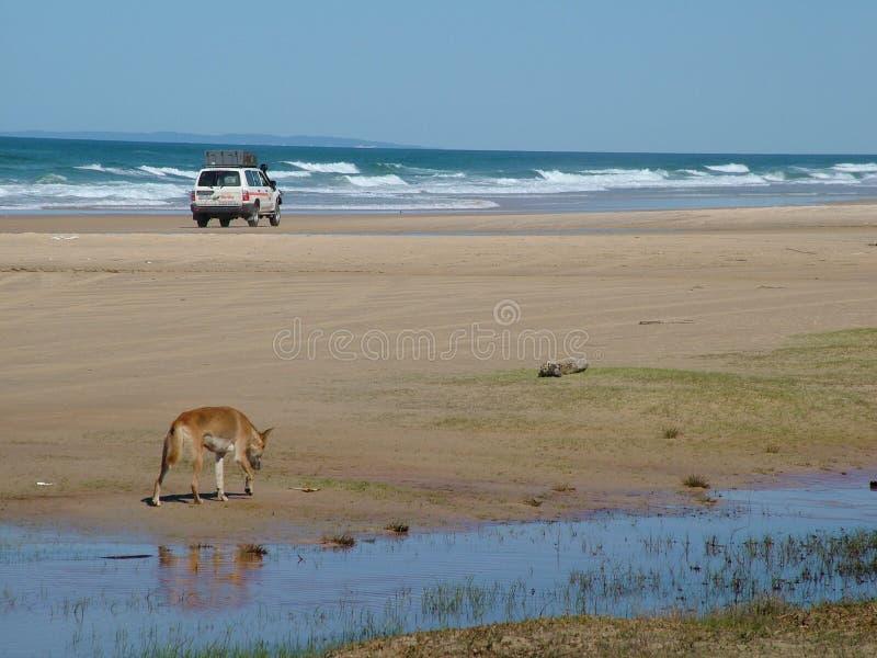 Dingo en 4X4 in het Australische eiland stock afbeeldingen