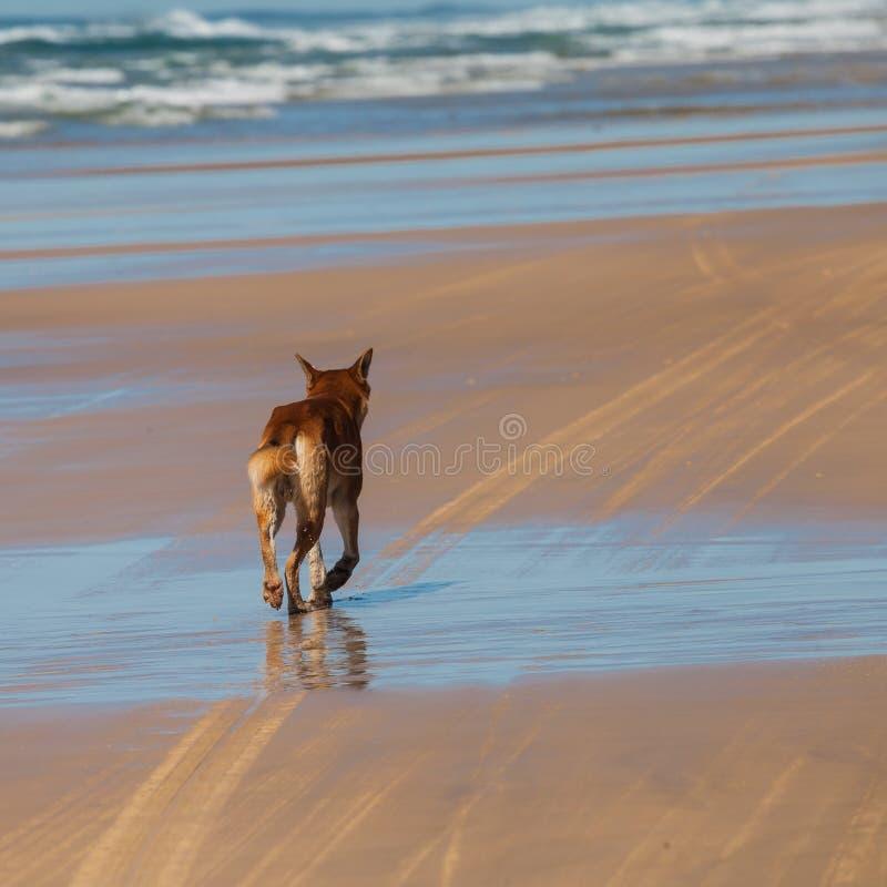Dingo i Australien arkivbild