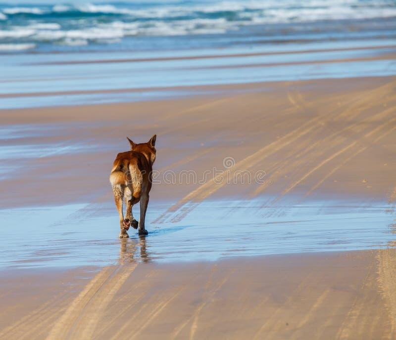 Dingo i fraserön Australien arkivfoto