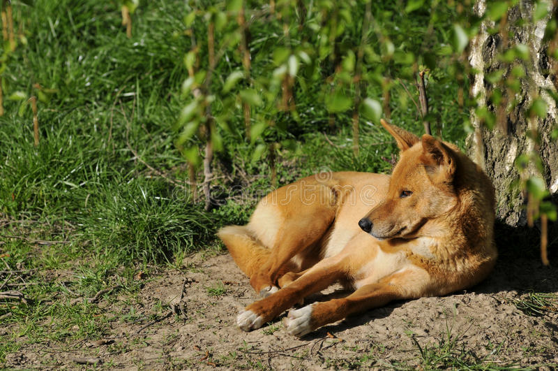 Download Dingo Lying On Ground Royalty Free Stock Photos - Image: 14687448