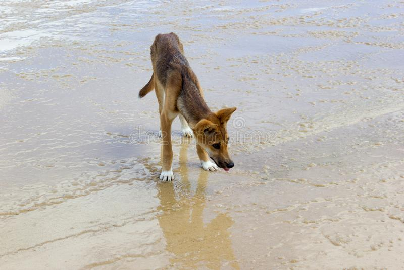 Dingo na pla?y w Wielkim Piaskowatym parku narodowym, Fraser wyspy Waddy punkt, QLD, Australia obraz royalty free