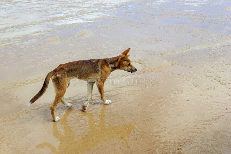 Dingo na praia em grande Sandy National Park, Fraser Island Waddy Point, QLD, Austr?lia imagem de stock royalty free