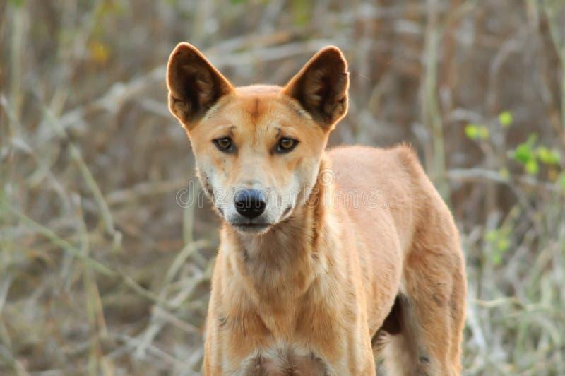 Dingo ou warrigal fotografia de stock royalty free
