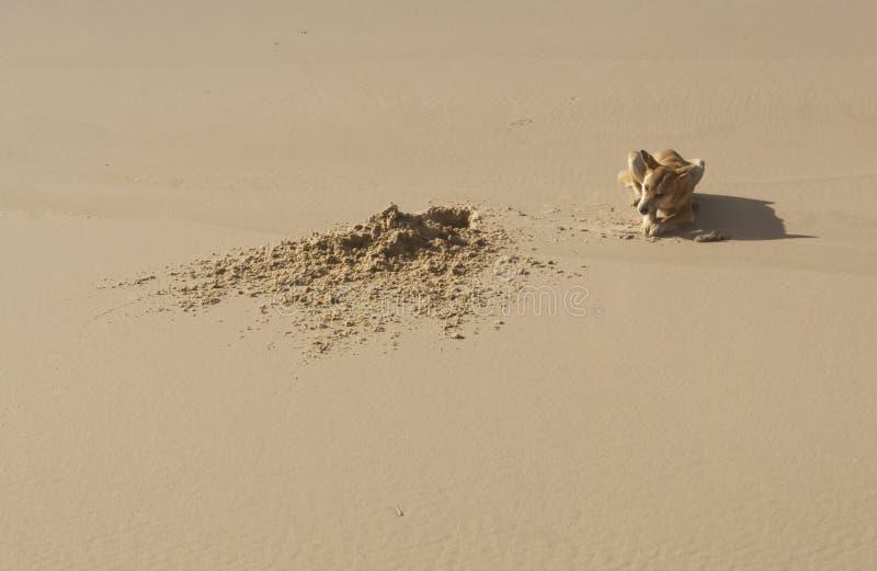 Dingo salvaje, isla de Fraser, Australia fotos de archivo libres de regalías