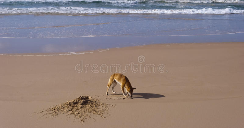 Dingo sauvage, île de Fraser, Australie photographie stock libre de droits