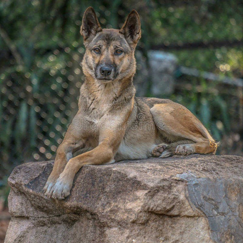 dingoes obrazy royalty free