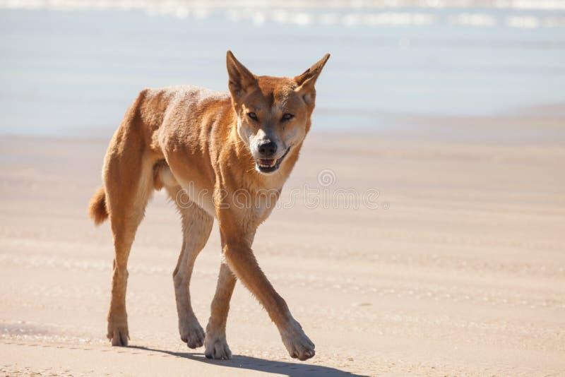 dingoes zdjęcie royalty free
