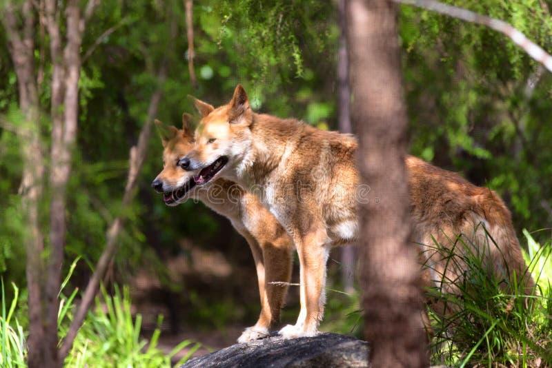 Dingos en captivité, Australie image libre de droits