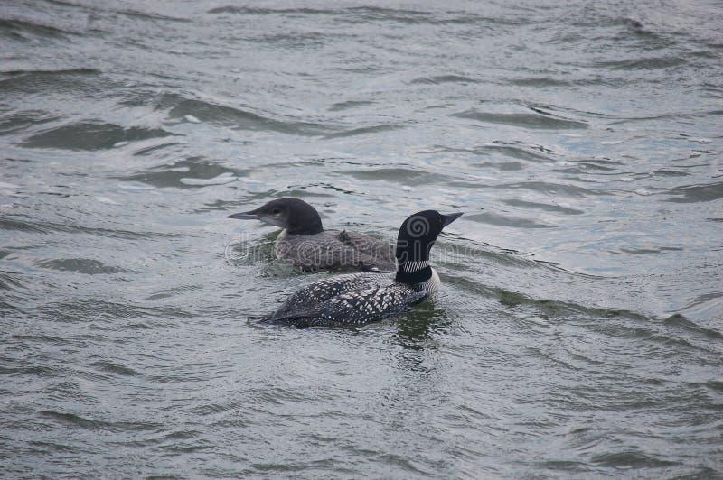 Dingues sur un lac de manganèse images libres de droits