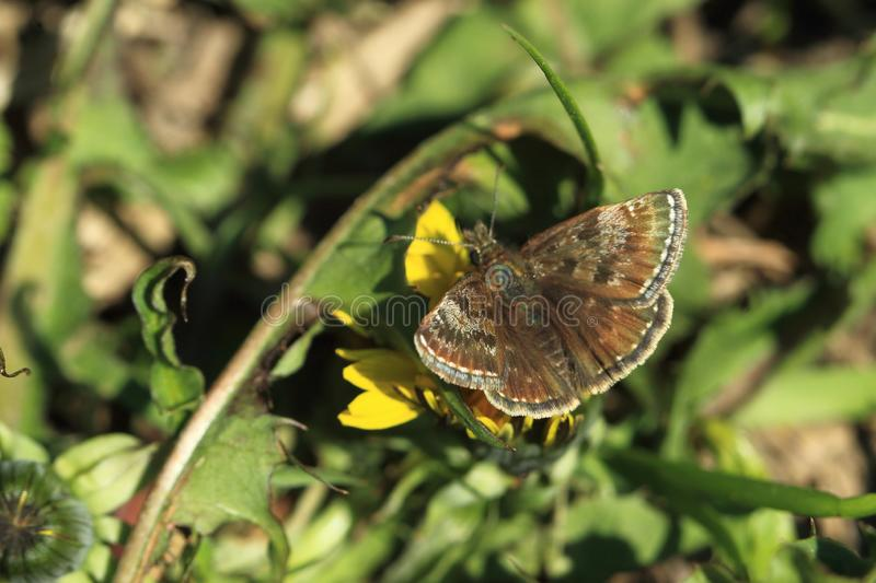 Dingy skipper butterfly. On the plant stock photography