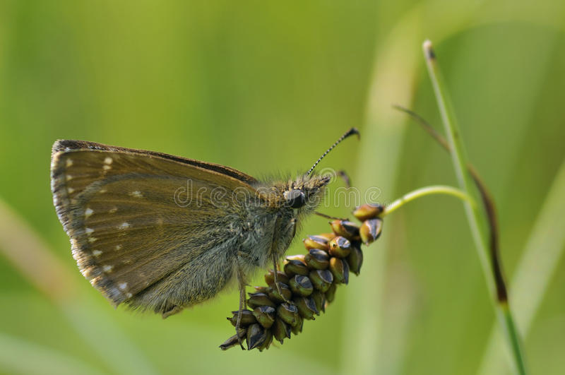 Dingy Skipper Butterfly - Erynnis tages royalty free stock photography