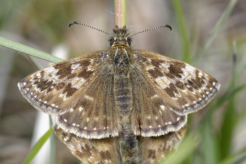 Dingy Skipper. Erynnis tages .Male of mating pair stock photo