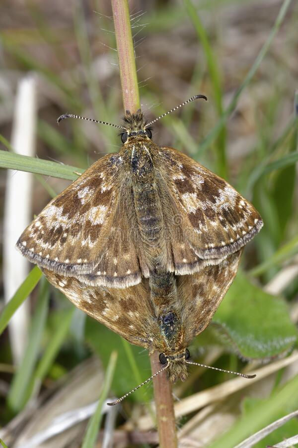 Dingy Skipper. Erynnis tages .Mating pair in grass stock photography