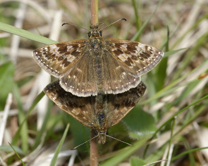Dingy Skipper. Erynnis tages .Mating pair in grass royalty free stock images