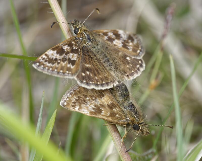 Dingy Skipper. Erynnis tages .Mating pair in grass royalty free stock image