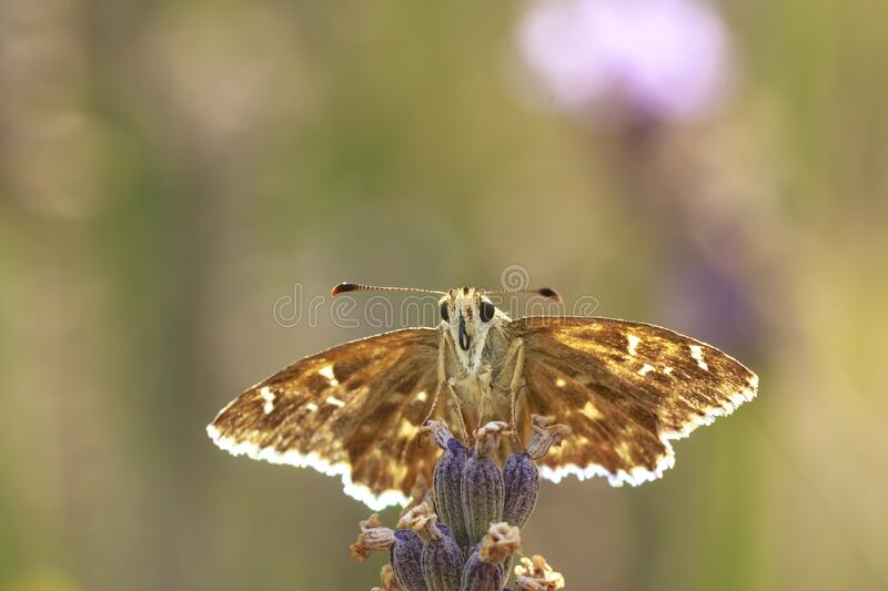 Dingy skipper Erynnis tages on purple lavender. Dingy skipper Erynnis tages butterfly pollinating in purple blooming lavender flowers stock image