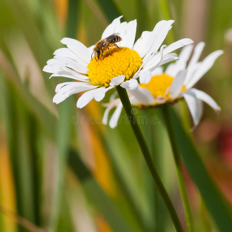 Download Dining On Daisy stock image. Image of asteraceae, nature - 28044151