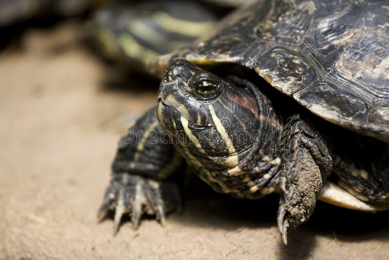 Dinky Schildkröte stockfoto