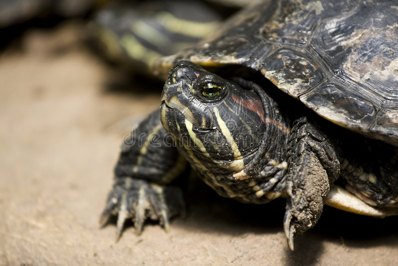 Dinky Schildpad stock foto
