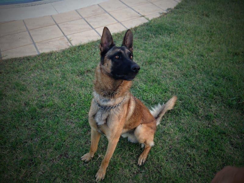 Dino le pasteur de chien photographie stock libre de droits
