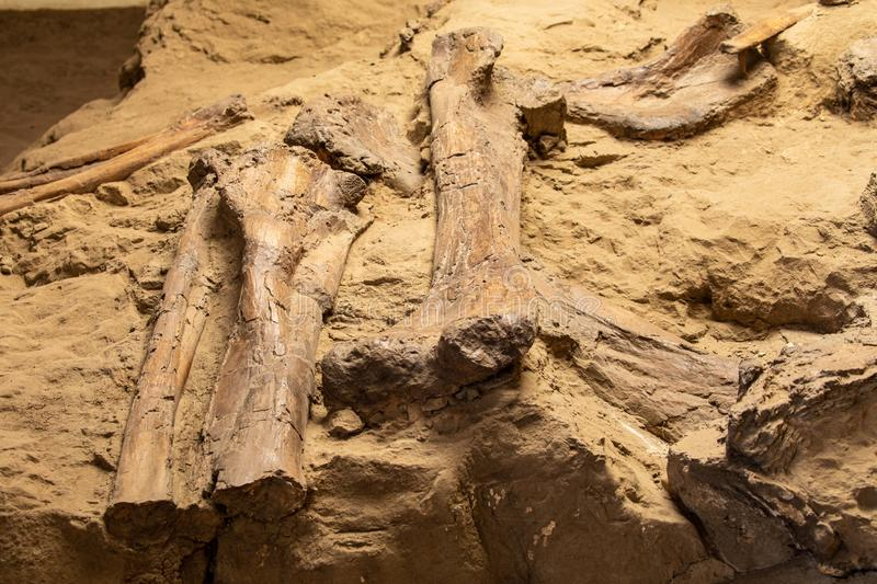 Dinosaur Bones and Fossils royalty free stock images