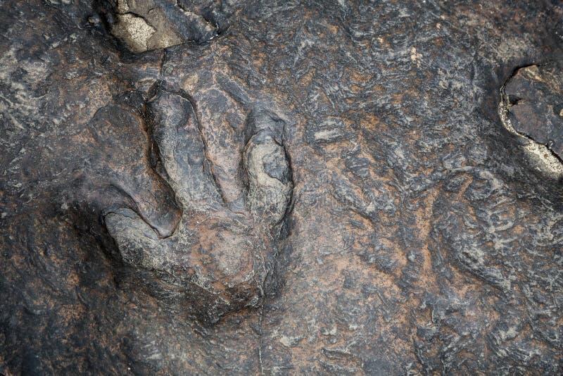 Dinosaur foot. Prin in kalasin Thailand stock photos