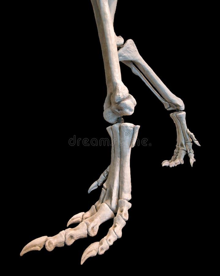 Dinosaur Foot and leg bones. A dinosaur skeleton closeup of the feet and legs royalty free stock image