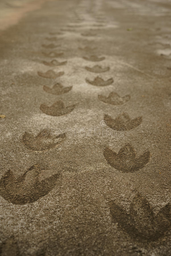 Dinosaur footprint. Track of dinosaur footprint on concrete path royalty free stock photography