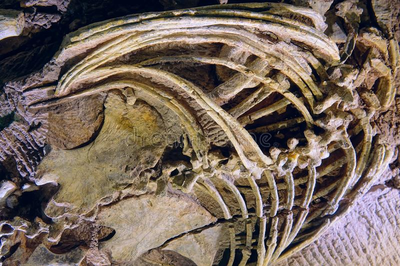 Dinosaur fossil. The close-up of dinosaur fossil stock image
