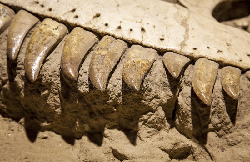 Dinosaur fossil. Close up view stock images