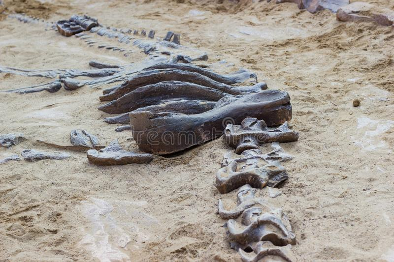 Dinosaur fossil simulator excavation in sand royalty free stock photography