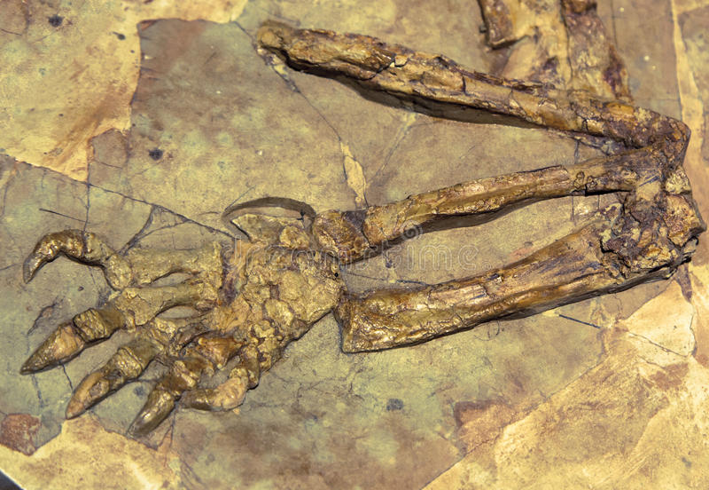 Dinosaur fossil. Viatkogorgon - close up view royalty free stock images