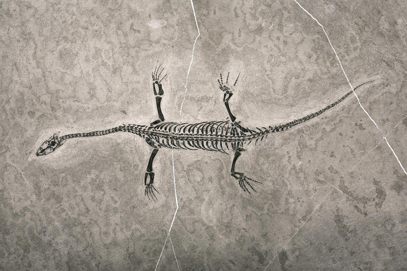 Dinosaur fossils royalty free stock image
