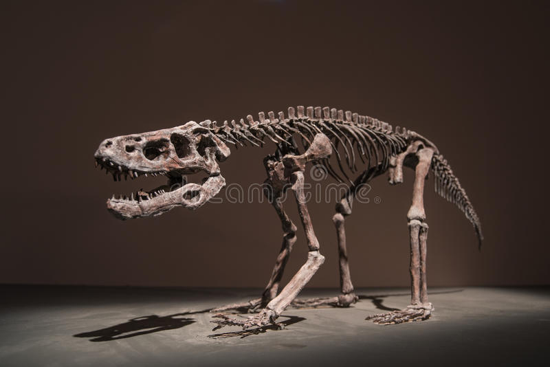 Dinosaur Fossils. In Dinosaur Museum royalty free stock photos