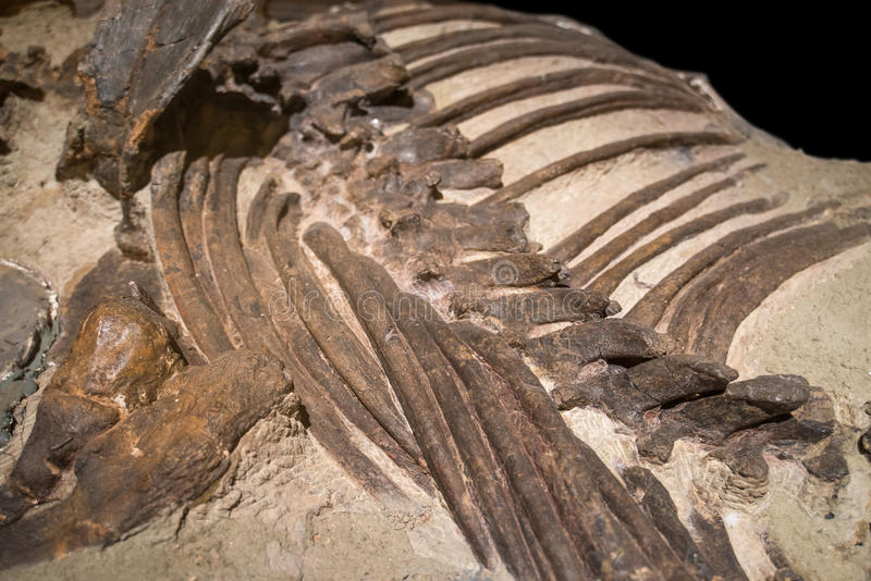 Dinosaur Fossils. In Dinosaur Museum stock photography