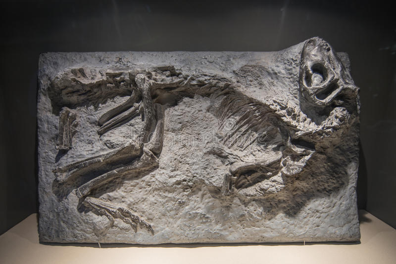 Dinosaur Fossils. In Dinosaur Museum stock photo