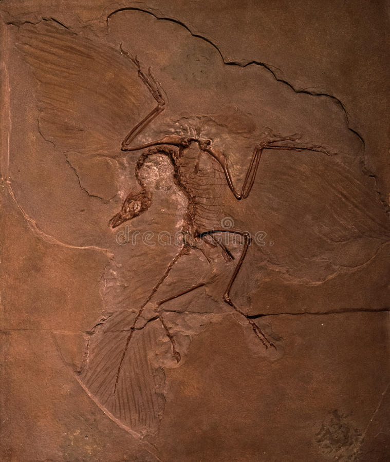 Free Dinosaur Fossils Of Archaeopteryx In Rock Royalty Free Stock Image - 48105156