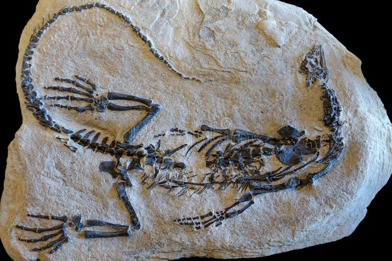 Dinosaur skamielina na piaska kamienia tle obraz royalty free
