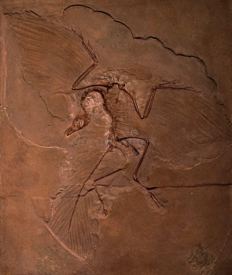 Dinosaur skamieliny archeopteryks w skale obraz royalty free